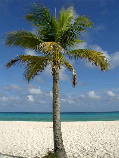 La vraie diff rence entre un palmier et un cocotier le blog de marie - Photos de toutes sortes de palmiers ...